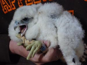 Peregrine chick FX at 3 weeks, May 2013