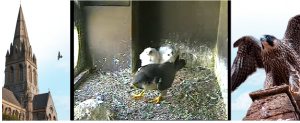 Screen image from day after ringing, Tue 24 May, chicks 3 weeks old.