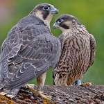 HERITAGE LECTURE – The Peregrine Falcons at St Michael's